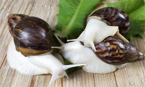 涿州隆诚蜗牛【白玉章鱼v蜗牛】口袋妖怪银版有蜗牛桶吗